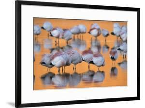 A flock of migratory flamingos roost in a high-altitude lake. by Joel Sartore