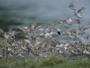 A Flock of Western Sandpipers by Joel Sartore