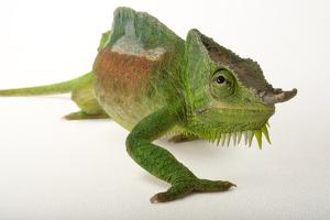 A Four-Horned Chameleon, Chamaeleo Quadricornis, at the Fort Worth Zoo by Joel Sartore
