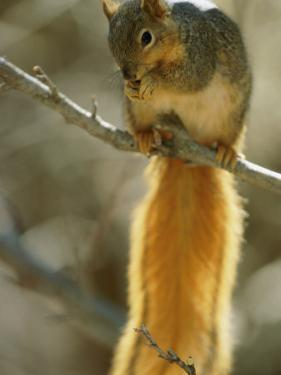 A Fox Squirrel Balances on a Tree Limb While it Eats by Joel Sartore