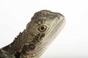 A Gippsland Water Dragon, Physignathus Lesueurii, at the Wild Life Sydney Zoo by Joel Sartore