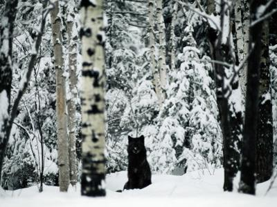 A Gray Wolf, Canis Lupus, Sitting in the Midst of a Snowy Landscape by Joel Sartore