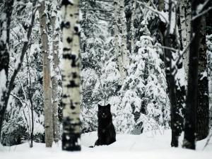A Gray Wolf Sitting in the Midst of a Snowy Landscape by Joel Sartore