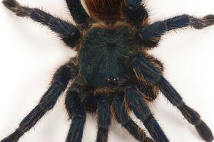 A Greenbottle Blue Tarantula at the Lincoln Children's Zoo by Joel Sartore