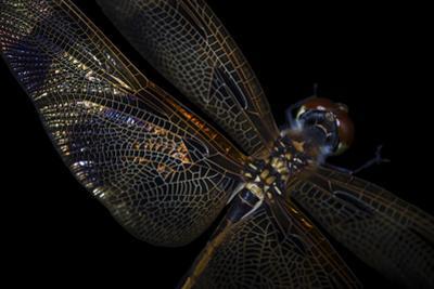 A Halloween Pennant Dragonfly, Celithemis Eponina. by Joel Sartore