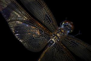 A Halloween Pennant Dragonfly, Celithemis Eponina. by Joel Sartore