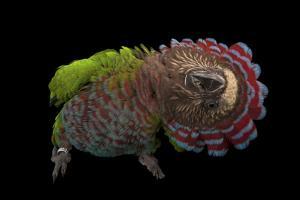 A Hawk-Headed Parrot, Deroptyus Accipitrinus by Joel Sartore