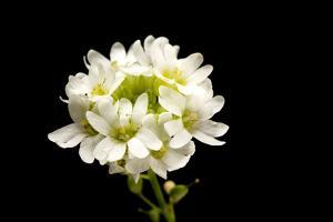 A Hoary Alyssum Plant, Berteroa Incana by Joel Sartore