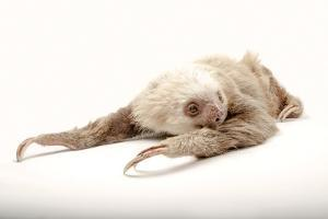A Hoffmann's Two-Toed Sloth, Choloepus Hoffmanni, at the Gladys Porter Zoo. by Joel Sartore