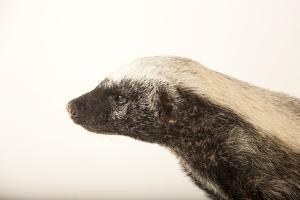 A Honey Badger, Mellivora Capensis, at the Fort Wayne Children's Zoo by Joel Sartore