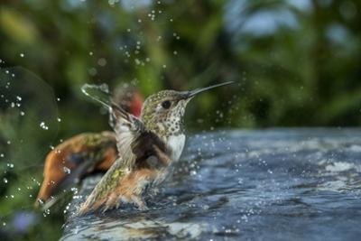 A hummingbird in a bird bath. by Joel Sartore