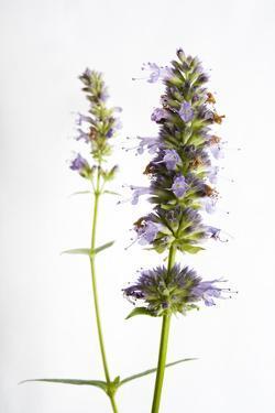 A Hyssop Plant, Hyssopus Officinalis by Joel Sartore