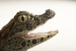 A Juvenile Broad Nosed Caiman, Caiman Latirostris, at the Sedgwick County Zoo. by Joel Sartore