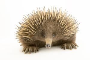 A Kangaroo Island Echidna, Tachyglossus, at the Los Angeles Zoo. by Joel Sartore
