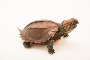 A Keeled box turtle, Cuora mouhotii, at the Houston Zoo. by Joel Sartore