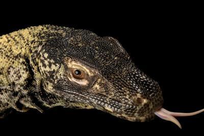 A Komodo Dragon, Varanus Komodoensis. by Joel Sartore