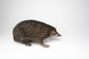 A Large Madagascar Hedgehog, Setifer Setosus, at Houston Zoo. by Joel Sartore