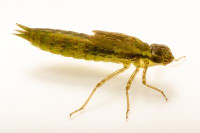 A larvae or aquatic phase of the green darner dragonfly, Anax junius by Joel Sartore