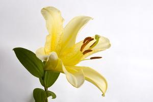A Lemon Day-Lily Flower, Hemerocallis Lilioasphodelus by Joel Sartore