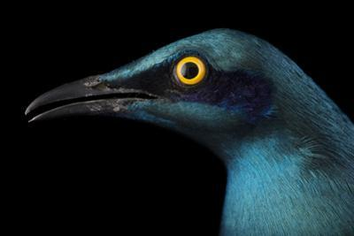 A Lesser Blue-Eared Glossy Starling, Lamprotornis Chloropterus, at the Houston Zoo