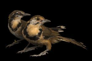 A Lesser Necklaced Laughingthrush with a Greater Necklaced Laughingthrush, Penang Bird Park by Joel Sartore