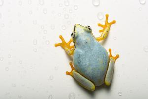 A Madagascar reed frog, Heterixalus madagascariensis, at the Plzen Zoo. by Joel Sartore