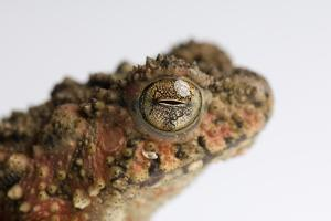 A Malaysian River Toad, Bufo Asper. by Joel Sartore