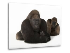A Male and Female Western Lowland Gorilla, Gorilla Gorilla Gorilla, at the Gladys Porter Zoo by Joel Sartore