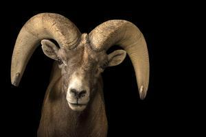 A male desert bighorn sheep, Ovis canadensis nelsoni by Joel Sartore