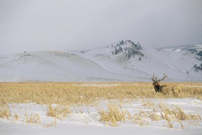 A Male Elk Standing in Snowy Field Near Gentle Rolling Hills by Joel Sartore