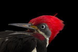 A male lineated woopecker, Dryocopus lineatus by Joel Sartore