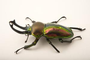 A male rainbow stag beetle. The male is larger with huge mandibles out front. by Joel Sartore
