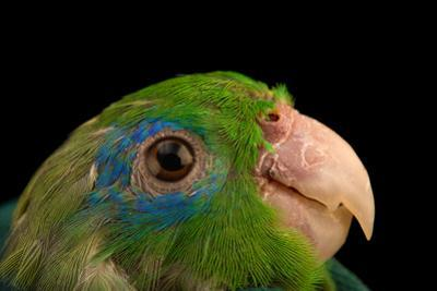 A male spectacled parrotlet, Forpus conspicillatus, at Piscilago Zoo. by Joel Sartore