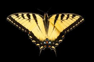 A male tiger swallowtail butterfly, Papilio glaucus, from the wild. by Joel Sartore