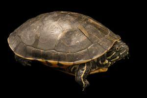 A male western chicken turtle, Deirochelys reticularia miaria, at the Houston Zoo. by Joel Sartore