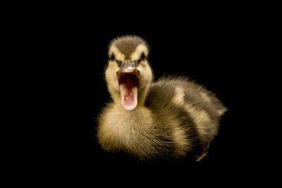 A Mallard Duckling, Anas Platyrhynchos. by Joel Sartore