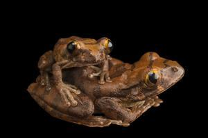 A mating pair of red tree frog, Leptopelis rufus, from the wild. by Joel Sartore