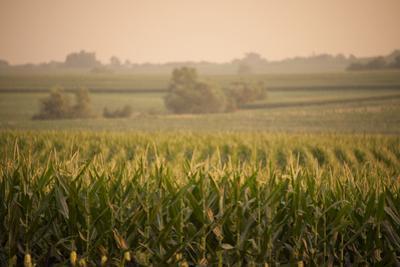 A Non-Irrigated Field of Corn Near Bennet, Nebraska