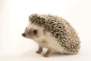 A North African hedgehog, Atelerix algirus, at the Virginia Aquarium. by Joel Sartore