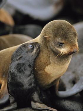 A Northern Fur Seal Pup Nuzzles its Mother by Joel Sartore