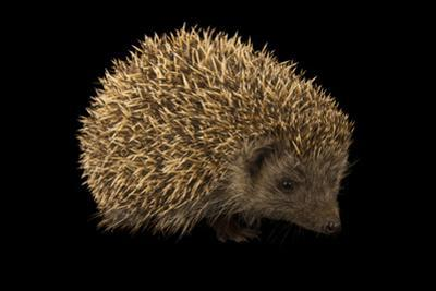 A Northern White Breasted Hedgehog, Erinaceus Roumanicus, from the Budapest Zoo. by Joel Sartore