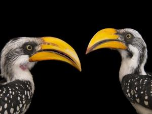 A Pair of Eastern Yellow-Billed Hornbills, Tockus Flavirostris, at the Indianapolis Zoo by Joel Sartore