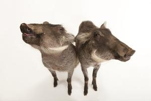A Pair of Eight-Month-Old Common Warthogs, Phacochoerus Africanus. by Joel Sartore