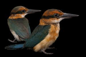 A Pair of Endangered Guam Micronesian Kingfishers by Joel Sartore