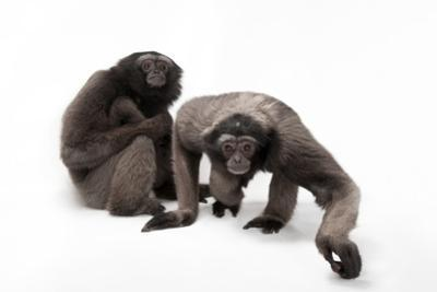 A Pair of Endangered Muller's Grey Gibbons, Hylobates Muelleri, at the Miller Park Zoo. by Joel Sartore