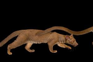A Pair of One-Year-Old Fossas, Cryptoprocta Ferox by Joel Sartore