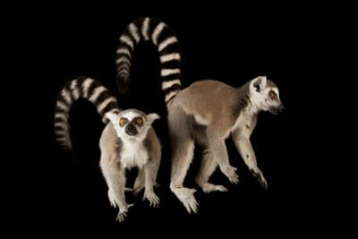 A Pair of Ring-Tailed Lemurs, Lemur Catta, at the Lincoln Children's Zoo. by Joel Sartore