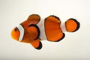 A peacock clownfish, Amphiprion ocellaris, at the Miller Park Zoo. by Joel Sartore