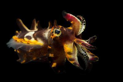 A Pfeffer's Flamboyant Cuttlefish, Metasepia Pfefferi, at the Dallas World Aquarium. by Joel Sartore