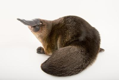 A Platypus, Ornithorhynchus Anatinus, at the Healesville Sanctuary by Joel Sartore